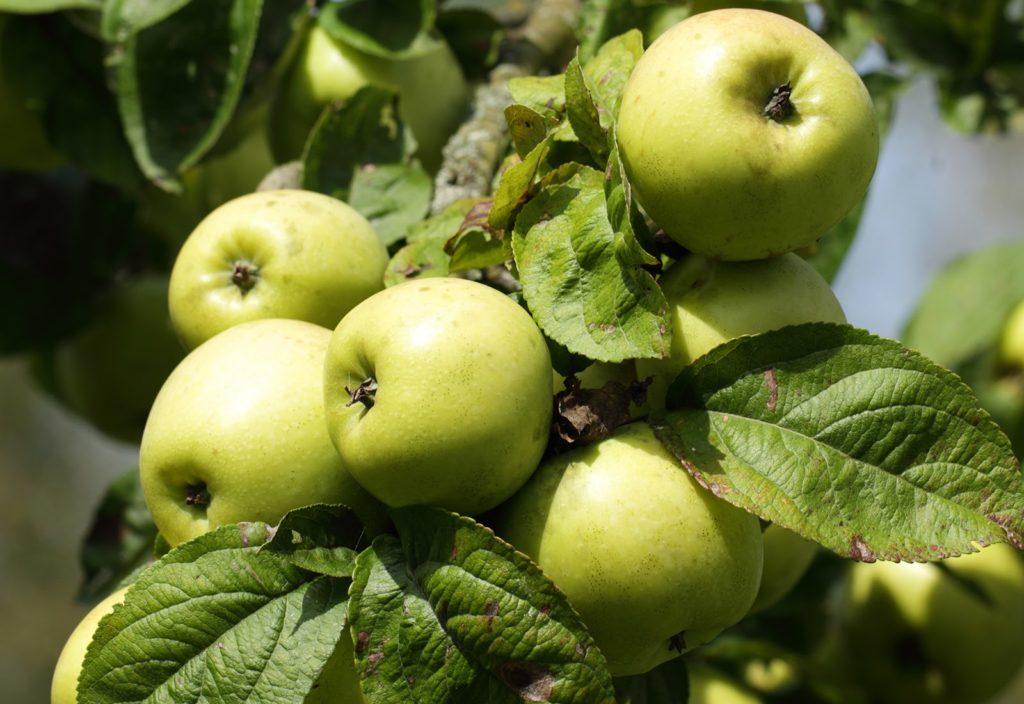 Jabłka dojrzewające na drzewie